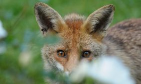 cropped-red-fox1.jpg