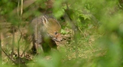 star fox cub